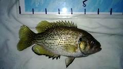 WP_20130624_006 (Cases4Cases) Tags: bass lakewashington mercerisland lakefishing rockbass catchandrelease catchrelease