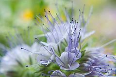 Bschelschn (Lisa Assimont) Tags: natur pflanze pflanzen phacelia phaceliatanacetifolia bienenfreund wasserzeichen bschelschn bienenweide bschelblume