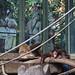 orangutan - toronto zoo - 11