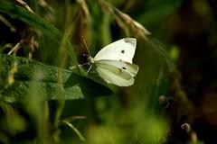 Tximeleta (Nerea_xd) Tags: macro verde canon butterfly mariposa detalles euskalherria paisvasco guipuzcoa gipuzkoa irun macrofotografia papallona orlegia berdea tximeleta plaiaundi eos450d