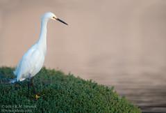 Snowy Egret (Bob Stronck) Tags: avian snowyegret redwoodcity redwoodshores sanmateocounty egrettathula stronckphotocom birdsofsanfranciscobay ©2013rmstronck