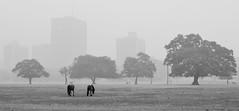 Kolkata Maidan in Winter [Explored] (pallab seth) Tags: city winter horse india mist fog landscape dawn december cityscape kolkata maidan explored pallabseth