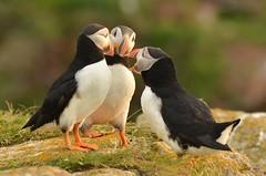 Neuigkeiten II (Caora) Tags: newfoundland puffin lundi elliston bonavista arctica fratercula papageientaucher neufundland