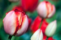 Tulip flowers (Ervins Strauhmanis) Tags: park flowers red flower green garden spring closed tulip bloom flowering blooming unopened
