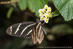 Zebra Longwing (P1070437) (Michael.Lee.Pics.NYC) Tags: newyork flower butterfly garden zoo bronx zebra longwing