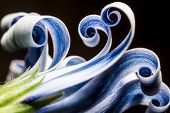 A Wave Is Coming (jciv) Tags: blue white abstract flower waves spirals wave curls africandaisy abstractflowerpart file:name=dsc09987