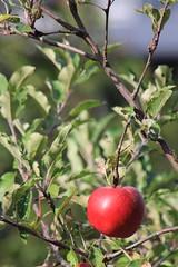 Apfelbaum #GreatNature (Nine LaMaitre) Tags: plant tree apple nine herbst pflanze baum apfel appletree apfelbaum greatnature lamaitre