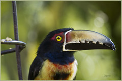 Pich Collajero.Pteroglossus TorquatusMG_3061 (lagord5 /) Tags: colors birds colombia aves colores pico canoneos7d