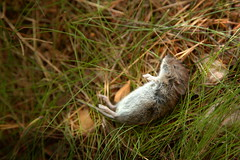 Everything Comes to an End (Bunaro) Tags: forest mouse death rodent an end everything comes