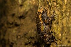 Banded Bullfrog (Kaloula pulchra) (Stéphane De Greef - www.stephanedegreef.com) Tags: macro asia cambodia animalia institutions anura amphibia chordata bioblitz royalresidence 2013 siemreapprovince neobatrachia microhylidae kaloulapulchra asianpaintedfrog microhylinae ranoidea siemreapdistrict kaloulasp
