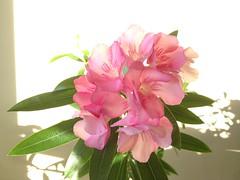 Oleander Romance (marylea) Tags: pink flowers houseplant bloom oleander 2012 jul11