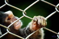 Freedom..the Only thing Everyone is Waiting for.. (Subhra Kar) Tags: india freedom monkey cage ape kolkata captivity