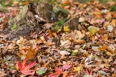 leaves n stump autumn 2013-4226 ( Li Gan Te) Tags: autumn tree nature leaves lens prime iso100 flora nikon decay stump fixed f56 nikkor lenses d800 focal 8514 120sec nikond800 d800e nikond800e