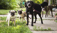 cute pups outside ~ (NatalieShockleePhotography) Tags: cute puppy puppies adorable pug pit bull pup pugs