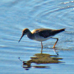 LESSER YELLOWLEGS  ID Photo thumbnail