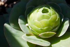 La Gomera (Tuk Tuk Tales) Tags: travel cactus plant detail macro nature closeup spain flora nikon scenery europe greenery canaryislands lagomera