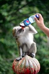 Monkey drinking Pepsi (5ERG10) Tags: trees portrait cute sergio animal tongue monkey bottle nikon sitting hand cola candid drinking cheeky plastic caves malaysia macaco pepsi kualalumpur moment malesia kl batu macaque crabeatingmacaque macacafascicularis cynomolgusmonkey amiti 5erg10