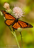 Monarch Butterfly (sjsimmons68) Tags: animals butterfly favorites monarch fav insectsandspiders halscottpreserve fllocations