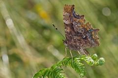 Polygonia c-album (Sinkha63) Tags: france macro nature animal female butterfly wildlife lepidoptera papillon fra corrèze limousin beynat insecta nymphalidae polygoniacalbum commabutterfly nymphalinae nymphaliscalbum robertlediable nymphalini gammacblanc annesorbes