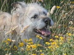 toto amarillo (jesust793) Tags: dog perro nature flor flower mascote pet
