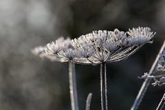 untitled (robwiddowson) Tags: nature natural wild ice morning light robertwiddowson plants botanical abstract bokeh winter