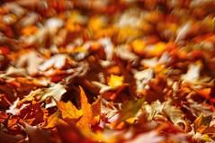 autumn sun (gwuphd) Tags: fujinon 55mm f16 m42 leaves foliage autumn bokeh nature