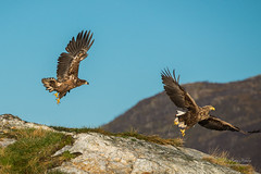 Eagles in flight (Northernphoto) Tags: eagle young rn hav havrn ocean takeoff taking off flight luft mountains northernphoto grand