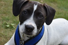 Stanley (margaretmilteer) Tags: dog pet mutt puppy puppies pup mixedbreed pointer pitbull