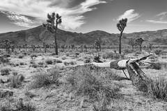 0396 Dead Tree (Hrvoje Simich - gaZZda) Tags: sky clouds dead dry desert sand trees mountain joshuatree nationalpark california usa nikon nikond750 nikkor283003556 gazzda hrovjesimich