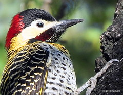 DSC_0096-001 (rachidH) Tags: birds oiseaux woodpecker pic greenbarredwoodpecker colaptesmelanochloros picvertetnoir carpinterorealnorteo bosquesdepalermo palermo woods buenosaires argentina rachidh nature