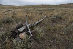 """Elk antler on Specimen Ridge • <a style=""""font-size:0.8em;"""" href=""""http://www.flickr.com/photos/63501323@N07/29971132041/"""" target=""""_blank"""">View on Flickr</a>"""