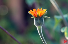 Sois comme la fleur, panouis-toi librement et laisse les abeilles dvaliser ton cur ! (mamnic47 - Over 6 millions views.Thks!) Tags: bagatelle paris16me jardinsdebagatelle parcdebagatelle automne 15102016 img2970 fleur bokeh bouton