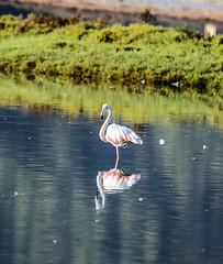 Flammand - Flamenc (ibzsierra) Tags: flammand flamenc flamenco flamingo ave bird oiseau ibiza eivissa balearres canon 7d 100400isusm salinas parque natural