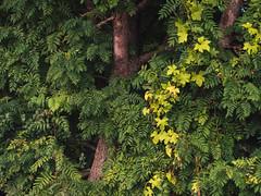 Leaves (Netsrak) Tags: leaves leaf branch blatt bltter ast baum tree green yellow grn gelb outdoor nature natur
