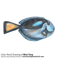 Blue Tang with Color Pencils (drawingtutorials101.com) Tags: atlantic blue tang barber doctor doctorfish surgeonfish yellow fishes animals surgeonfishes sketching pencil sketch sketches drawing draw speeddrawing timelapse timelapsevideo coloring color how