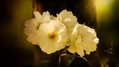 Quelques fleurs (Yasmine Hens) Tags: 7dwf fleurs flora flowers hensyasmine namur belgium wallonie europa aaa  belgique blgica    belgio  belgia   bel be