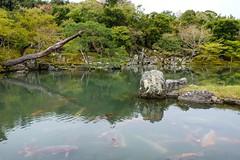Tenryu-ji I (Douguerreotype) Tags: garden shrine temple buddhist kyoto park japan fish tree water pond lake carp green koi