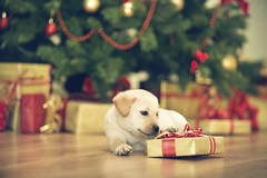 Little puppy with Christmas present (Ferratum Creative) Tags: animal christmas christmasdecoration christmasholiday christmasornament christmaspaper christmaspresent christmastree closeup comfortable dog domesticroom enjoyment firtree gift home homeinterior indoors labradorretriever little lyingdown nopeople pets present puppy small white floor holiday horizontal relaxation winter