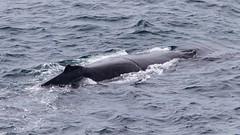 Damage (Geoff Main) Tags: australia canon7dmarkii canonef300mmf28lisiiusm canonefextender20xiii humpbackwhale nsw nativeanimal nswsouthcoast whale