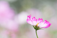 dancing alone (hitohira_) Tags: flower flowers nature bokeh cosmos