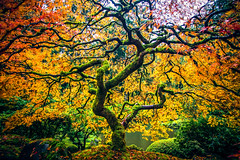 Maple Magic (West Leigh) Tags: portland oregon maple japanese garden autumn fall fallcolor leaves glow travel travelphotography trees grow season explore dream discover experience treeoflife branch outdoor inspire nature naturalbeauty