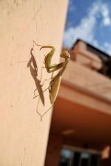 Praying Mantis (RagbagPhotography) Tags: mantodea flying insect bug prayingmantis mantis praying challenge 366 365