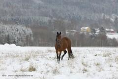 20161110098872 (koppomcolors) Tags: koppomcolors hst horse winter