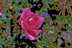 A Rose by any other name...! (maginoz1) Tags: pink rose flower flora abstract art manipulate curves spring october 2016 g3x shakespeare