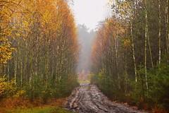 birch forest (JoannaRB2009) Tags: autumn fall nature rain rainy mud muddy wet path road mist fog humid tree trees birch yellow dzkie lodzkie polska poland forest woods landscape view