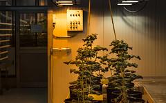Twenty-four hours of bright light (glasseyes view) Tags: glasseyesview orange lightandshadow plants laboratory 24 360