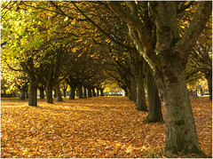 An Autumn Avenue (Audrey A Jackson) Tags: canon60d brownhills theparade autumn trees leaves colour nature 1001nights 1001nightsmagiccity