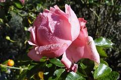 La  Rosa Bagnata (fabioercolini) Tags: la rugiada