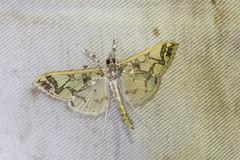 IMG_2324 moth (vlee1009) Tags:  moth 2016 nantou nov taiwan   insects nature macro
