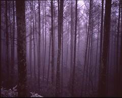 (bensn) Tags: mamiya 7ii 80mm f4 medium format film velvia 50 japan winter cold woods trees forest fog nature